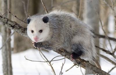 tomswochenschau_opossum_1.jpg