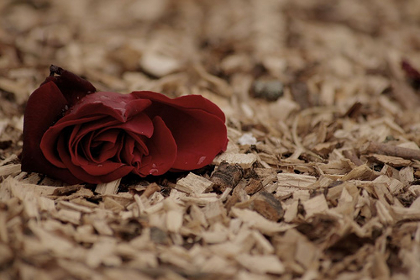 lonely_fallen_rose